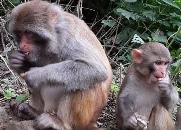 monkeys at Shibaoshan Shaxi Yunnan China